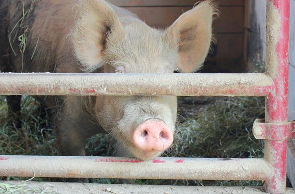 rescue pig