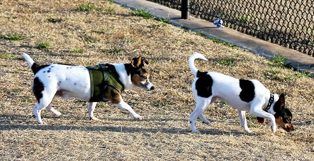 toy fox terriers